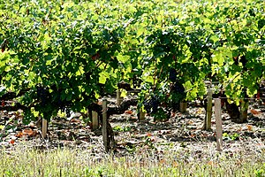 Cabernet Sauvignon vines growing in Bordeaux.
