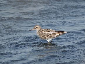 Description de l'image Calidris acuminata P4233992.jpg.