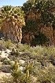 California fan palms at Cottonwood Spring Oasis (25030199963).jpg