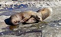 California sea lions (32282739704).jpg