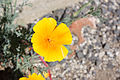 Californian Poppy (4287072005).jpg
