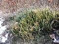 Calluna vulgaris sl19.jpg