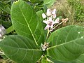 Calotropis gigantea, crown flower. എരിക്ക്.jpg