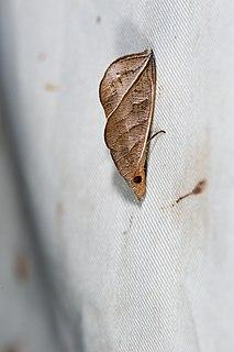 <i>Calyptra</i> (moth) Genus of moths in subfamily Calpinae of the family Erebidae