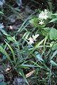 Camassia scilloides flower.jpg