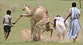 Camel Hunt.jpg