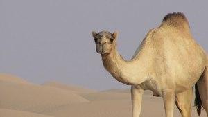 File:Camelus dromedarius - 2016-01-18.webm
