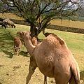 Camelus dromedarius 3.jpg