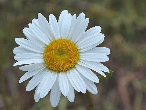 fleur de camomille matricaire