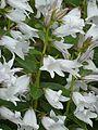 Campanula latifolia alba - Flickr - peganum.jpg