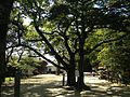 Camphor tree near south entrance of Sumiyoshi Shrine.JPG
