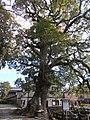 Camphor tree of Zuiko-ji.jpg