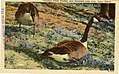 Canadian Geese feeding, near Horseshoe Lake Area (NBY 1287).jpg