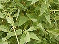 Canarina canariensis 06 ies.jpg