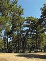 Candelabra pine - Cuenca - Spain - panoramio.jpg