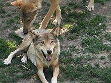 Canis lupus ssp. italicus