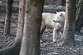 Canis lupus arctos IMG 9107.jpg