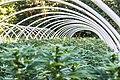 Cannabis plants in hoop house.jpg