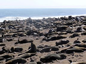 Cape Cross Osos.jpg