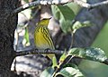 Cape May Warbler (37700891771).jpg