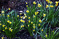 Capel Manor Gardens Enfield London England - Daffodils 08.jpg