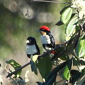 Black-girdled barbet -  A couple at Alta Floresta, Mato Grosso state, Brazil
