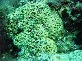 Capo Gallo 001 Cladocora caespitosa.jpg