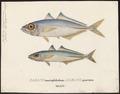 Caranx punctatus - 1700-1880 - Print - Iconographia Zoologica - Special Collections University of Amsterdam - UBA01 IZ13500359.tif