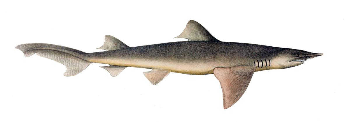 broadfin shark wikipedia