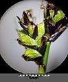 Carex montana sl15.jpg