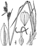 Carex torreyi (as Carex abbreviata) BB-1913.png