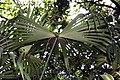 Carludovica palmata 13zz.jpg