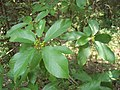 Carolina Buckthorn Immature Fruit.JPG