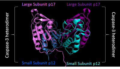 PDB image of Caspase 3 (4QTX) in 'biological assembly'. Two shades of blue used to represent two small sunits, while two shades of purple represent two large subunits