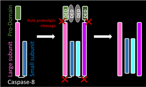 Caspase - Inititator Pro-caspases have a prodomain that allows recruitment of other pro-caspases, which subsequently dimerise. Both pro-caspase moleuceules undergo cleavage by autocatalysis. This leads to removal of the prodomain and cleavage of the linker region between the large and small subunit. A heterotetramer is formed