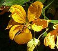 Cassia fistula, blom, b, Manie van der Schijff BT.jpg