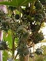 Castoroilplant-seeds.jpg