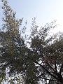 Casuarina equisetifolia at Akola2.jpg