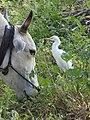 Cattle Egret Bubulcus ibis feeding on mouse by Dr. Raju Kasambe DSCN2590 (2).jpg