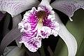 Cattleya maxima (sib. 'Colina' x semi-alba 'La Pedrena' SM-JOGA) Lindl., Gen. Sp. Orchid. Pl.- 116 (1833) (27295350009).jpg