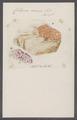 Cellepora coccinea - - Print - Iconographia Zoologica - Special Collections University of Amsterdam - UBAINV0274 093 05 0005.tif