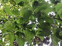 Celtis occidentalis 00366.jpg