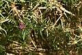 Centaurea calcitrapa 01 02.jpg