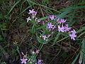 Centaurium erythrea01.jpg