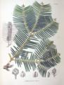 Cephalotaxus drupacea SZ130.png