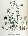 Cerastium glomeratum — Flora Batava — Volume v17.jpg