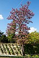 Cercis siliquastrum Judas tree at Myddelton House, Enfield, London, England.jpg
