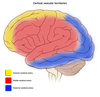 Cerebral circulation - Areas of the brain are supplied by different arteries. The major systems are divided into an anterior circulation (the anterior cerebral artery and middle cerebral artery) and a posterior circulation