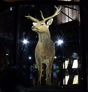Schomburgk's deer - The only mounted specimen, in Paris