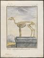 Cervus virginianus - skelet - 1700-1880 - Print - Iconographia Zoologica - Special Collections University of Amsterdam - UBA01 IZ21500043.tif